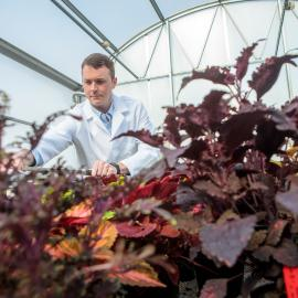 UK assistant horticulture professor Garrett Owen surveys the trial subjects in a coleus cultivar trial is he overseeing. Photo by Matt Barton