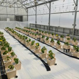 Young cucumber plants are part of a UK study evaluating cucumbers for hydroponic greenhouse production. Photo by Garrett Owen