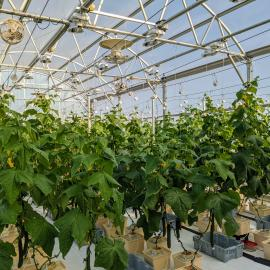 A greenhouse on UK's Horticulture Research Farm in Lexington plays host to a two-year study on cucumber varieties for greenhouse production. Photo by Garrett Owen