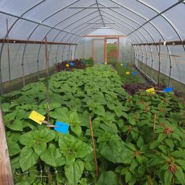 Sunflowers, zinnias, strawflowers, cosmos and two varieties of amaranth growing in a high tunnel are part of Rachel Rudolph's study on the Guinn farm in Boyle County. Photo by Rachel Rudolph