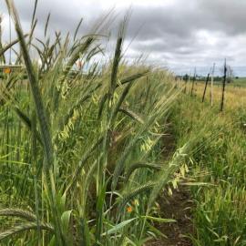 Cereal rye growing on Walnut Grove Farms in Logan County. Photo by Szymon Szprejda