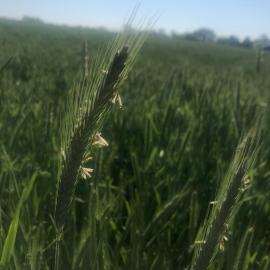 Rye growing at Walnut Grove Farms in Logan County. Photo by Szymon Szprejda