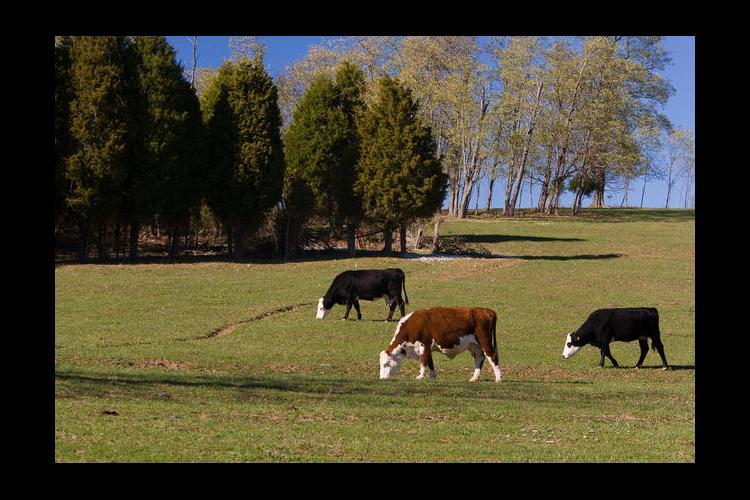 Cattle graze on a farm in Bourbon County.