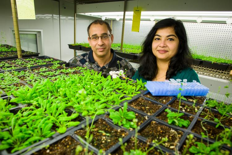Pradeep, left and Aardra Kachroo use the model plant arabidopsis to conduct much of their research at UK.