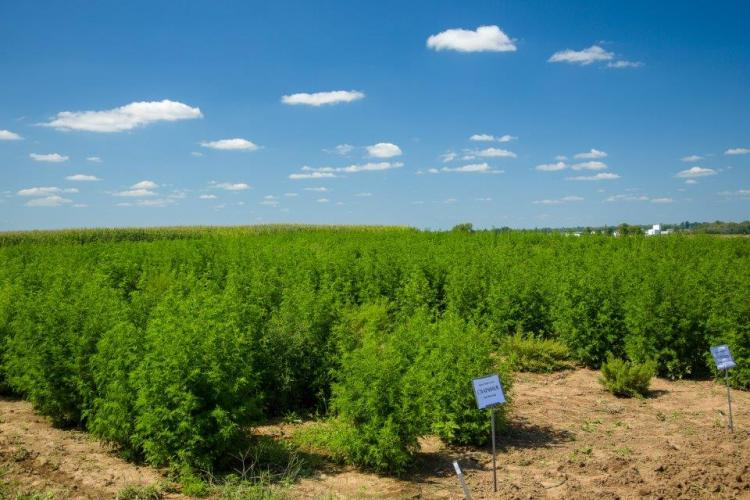 Artemisia test plots that are being grown at UK's Spindletop Farm.