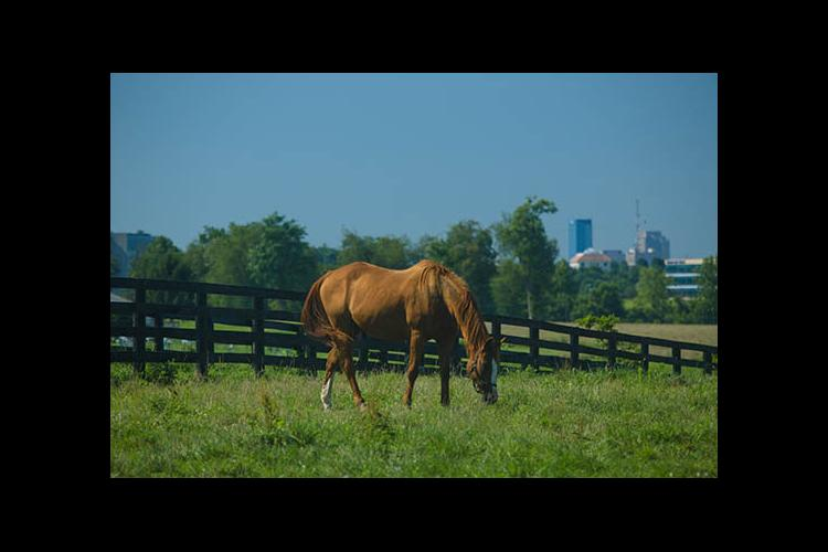 A horse grazes on UK Maine Chance Farm in Lexington.