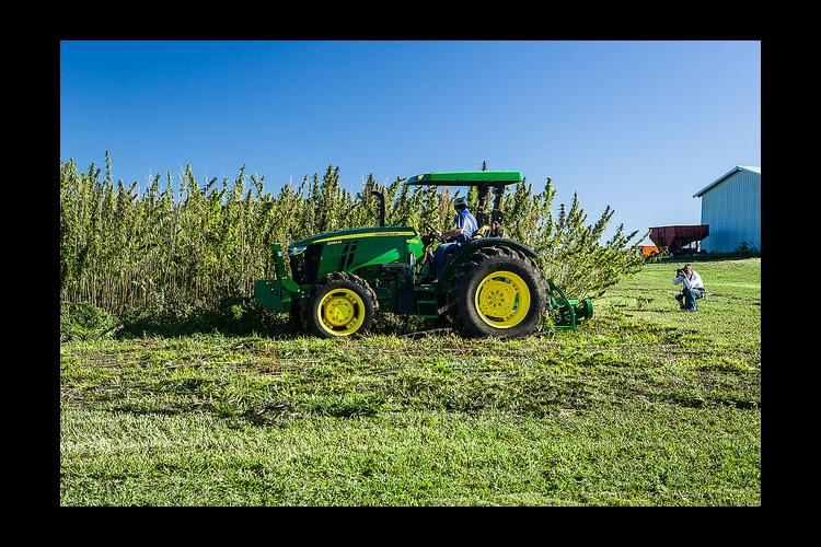Rich Mundell, UK agronomist, harvests UK's hemp research plot.
