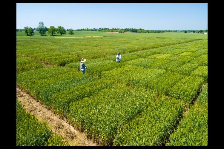 2016 UK wheat variety trials