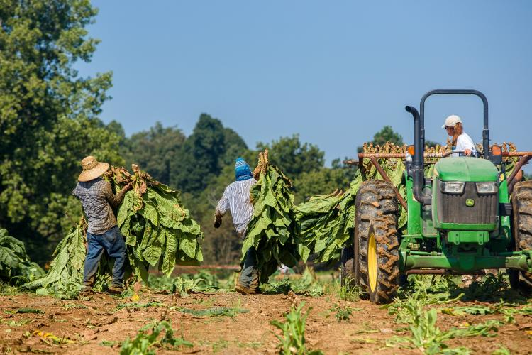 H-2A workers are vital to many agricultural producers include those that grow tobacco. Photo by Matt Barton, UK agricultural communications.