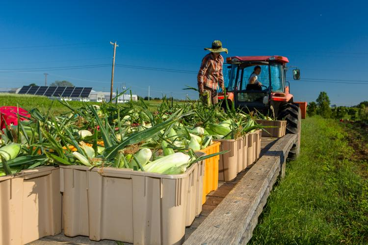 2018 sweet corn harvest at the UK Horticulture Research Farm for UK's CSA. Photo by Matt Barton, UK agricultural communications.