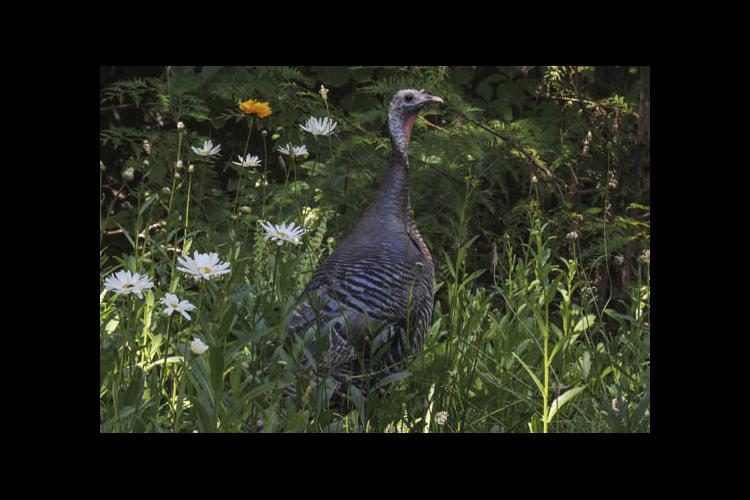 Wild turkey in the woods