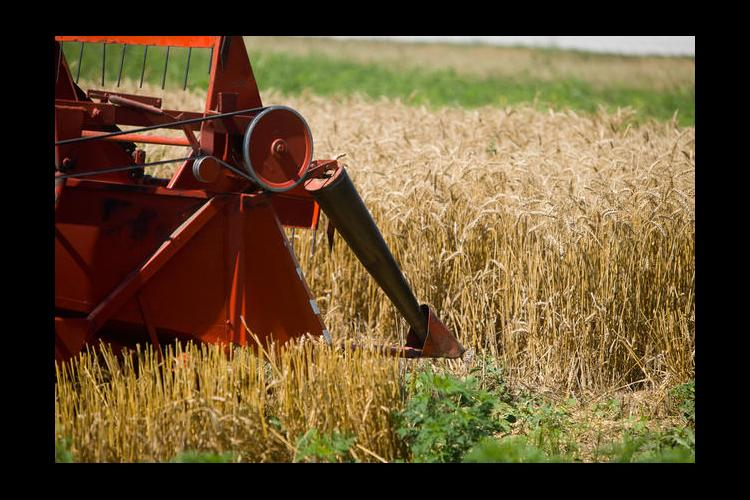 For some farmers, the appearance of their wheat crop was deceiving.