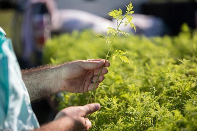 Closeup of a man's hands holding an Artemisia annua seedling