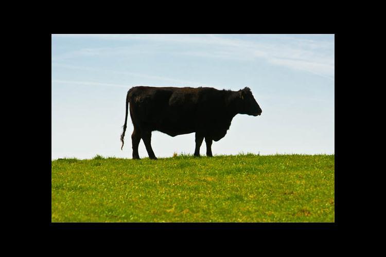 Black cow, green grass, blue sky