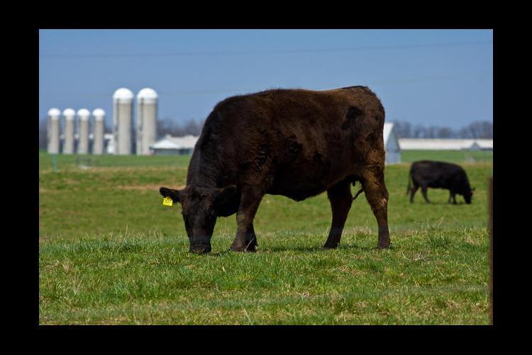 black cows and silos