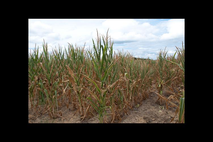 The drought has extremely stressed the corn crop in Lyon County and much of the state.
