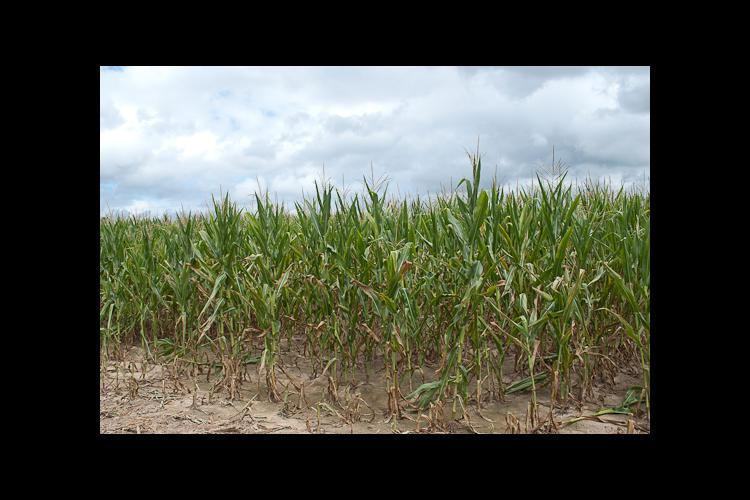 Much of the corn in Western Kentucky is drought stressed.