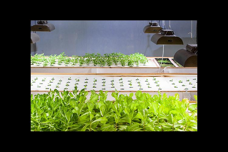 In an aquaponics system, fish provide nutrients for hydroponically grown plants, which in turn, purify the water.