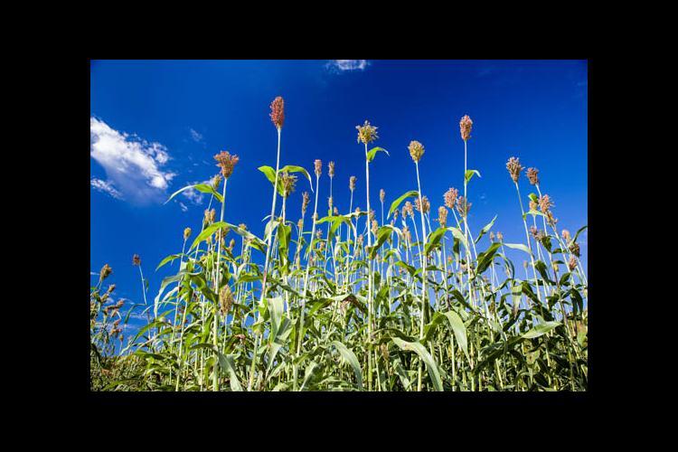 Crop against a blue sky