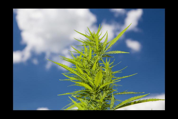 UK Hemp plant with blue sky and white clouds.