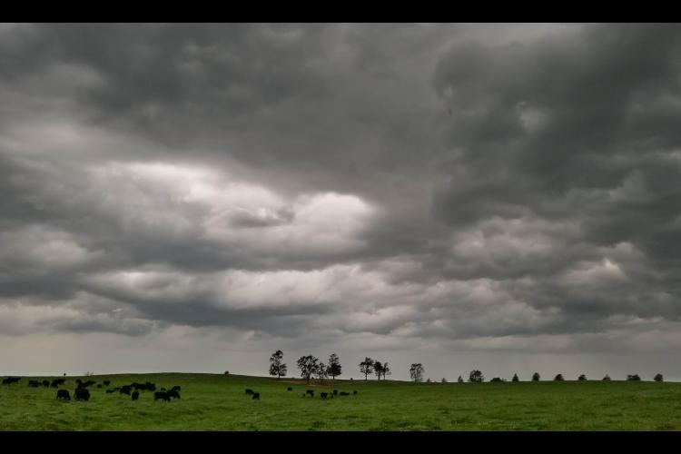 Cows in pasture with storm clouds