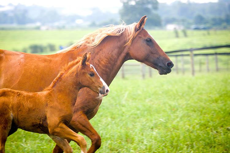 A foal and mother run in a pasture on the University of Kentucky's Spindletop Farm.