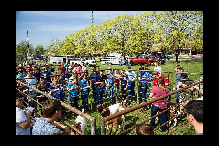 Students compete in livestock judging during the 2017 UK Agricultural Field Day.
