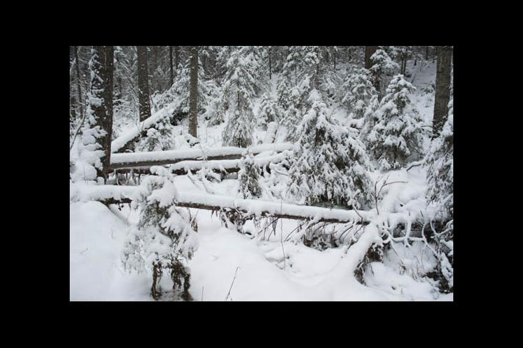 Winter-damaged timber