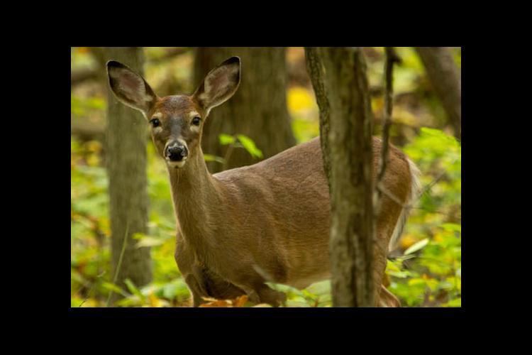 A deer in the woods