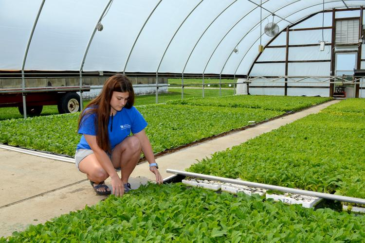 Andrea Keeney, UK graduate student, looks at tobacco plants in a UKREC greenhouse earlier this spring. Her research found that a change in fertlizers may lower TSNA levels in tobacco plants.  Photo by Katie Pratt, UK agricultural communications.