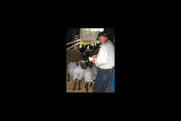 Sam Adams feeds the natural colored long-wool sheep that have become a source of farm income.