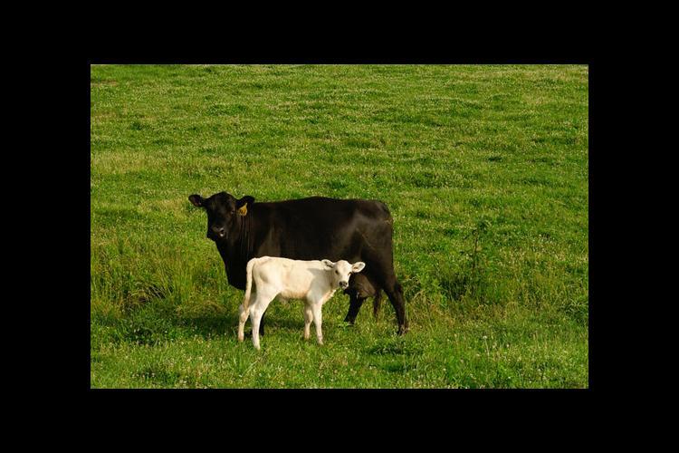 beef cow calf