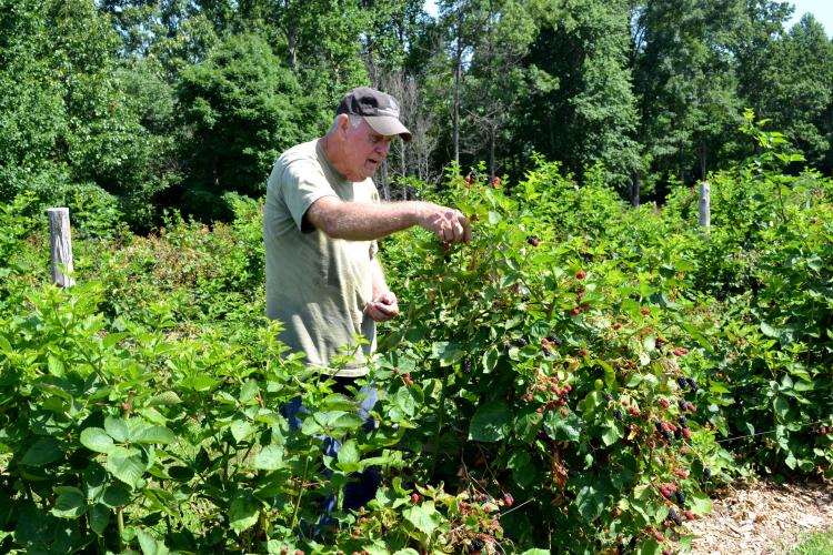 Bennie Winn picks blackberries on his Muhlenberg County farm. Photo by Katie Pratt, UK agricultural communications.
