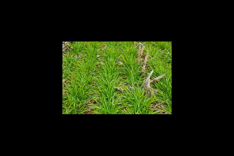 Bigger wheat and weeds result of mild winter