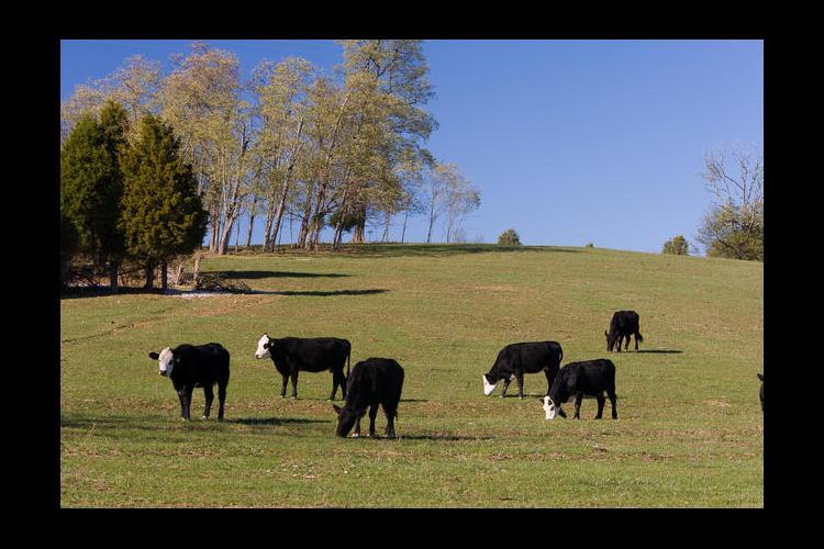 Black cows, green grass, blue sky