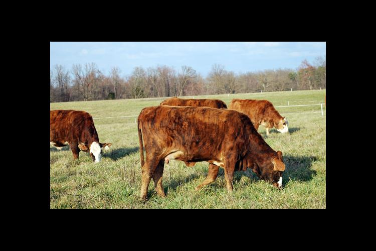 Rotational grazing can help producers extend their grazing season.