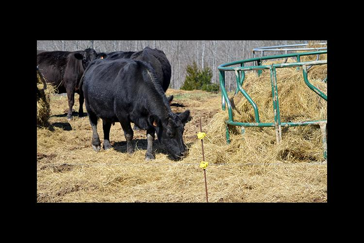 Fred Thomas fed his cattle this winter using bale grazing.