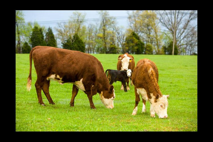 Cattle with calf