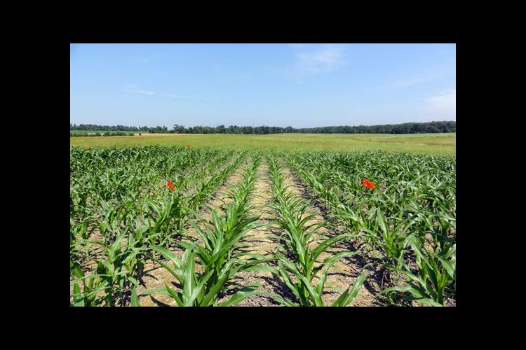 Small plot work will give researchers an idea of whether gypsum, poultry litter or both can improve grain yields.