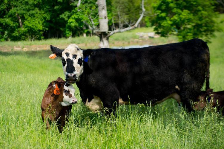 cow, calf, pasture