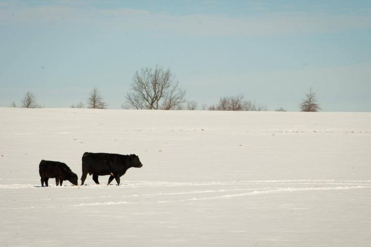 cow and calf in snow