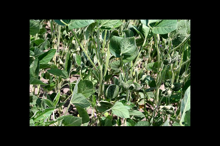 Cupped soybean leaves are a sign of exposure to a synthetic auxin herbicide like dicamba.