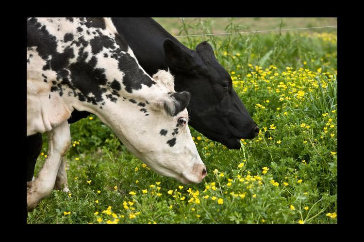Dick Davis Dairy, Brownsville, Ky.