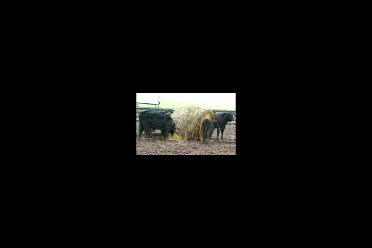 It's important to keep cattle dry and meet nutrient needs in winter months.