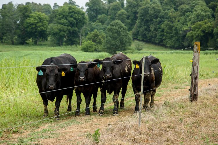 Beef cattle grazed in a field of sorghum on the research farm in Princeton, Ky.