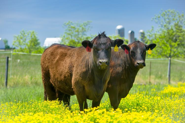 Beef cattle in a field of yellow flowers in Princeton, Ky.