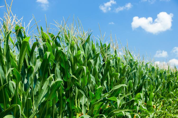 Corn field. Photo by Matt Barton, UK agricultural communications.