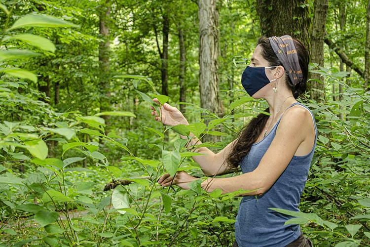 Megan Buland examines leaves for the spicebush caterpillar.