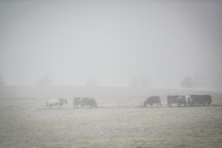 Winter scene and cattle