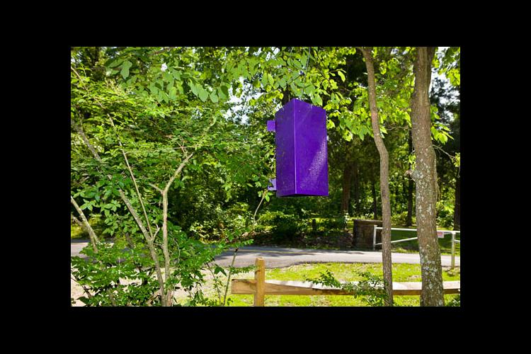 A purple prism trap set out to monitor the emerald ash borer